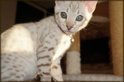 Cheetahsden Kreeci