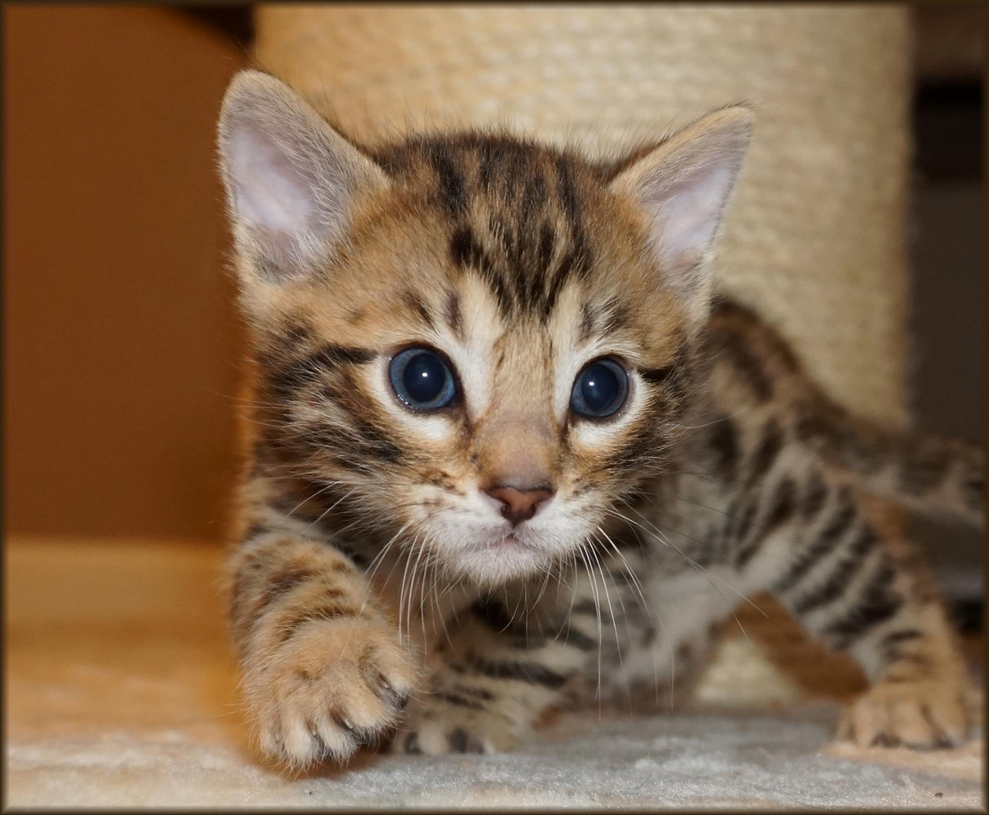 Bengal Cheetahsden Bengal Charlie