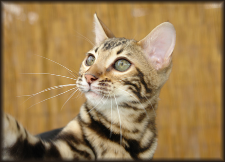 Cheetahsden Tori Yaki