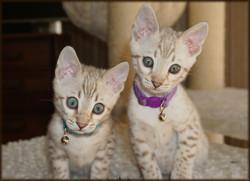 Cheetahsden Kreeci and Sibling
