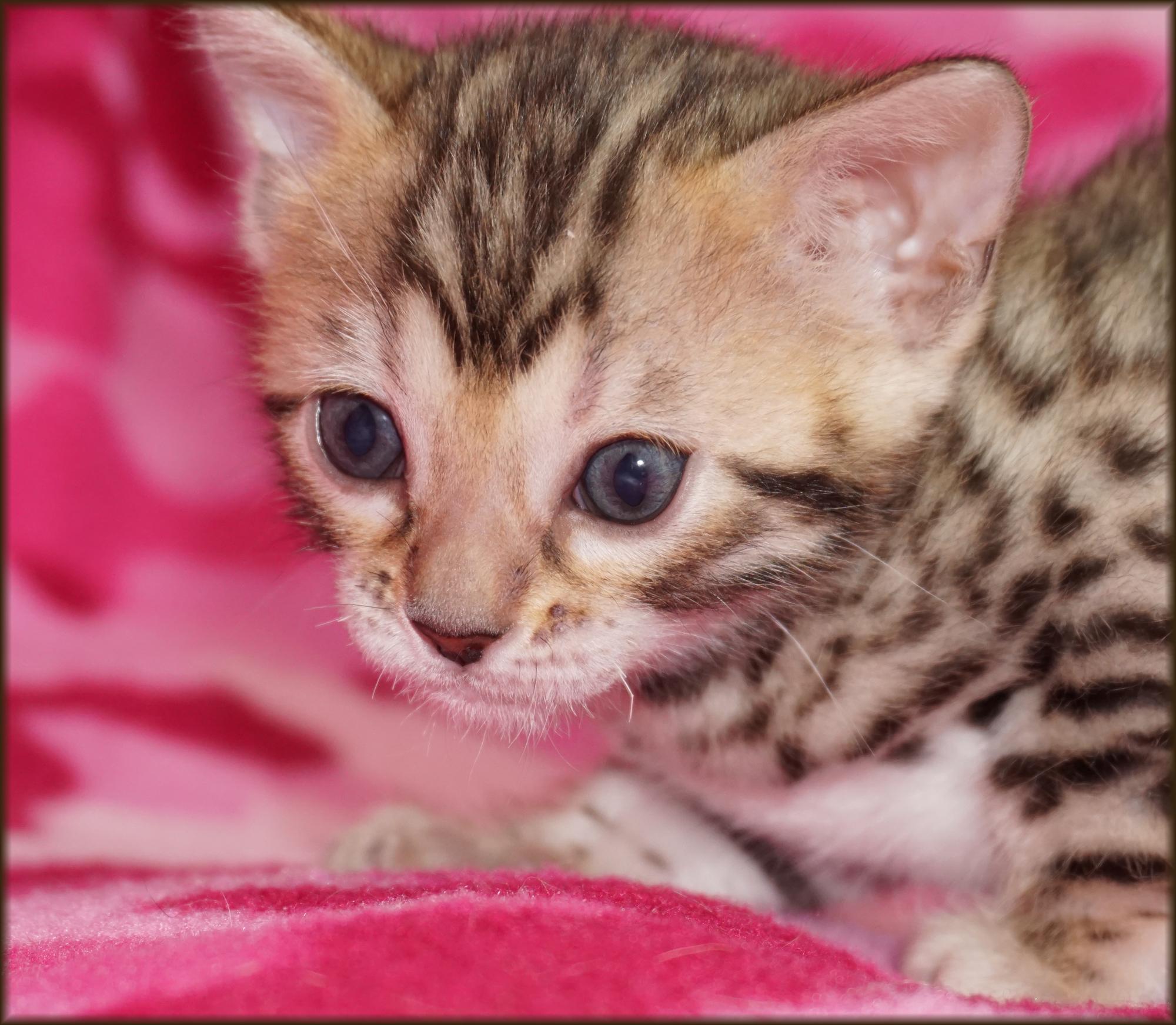 Bengal Cheetahsden Kiera