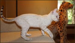 Cheetahsden Lenny