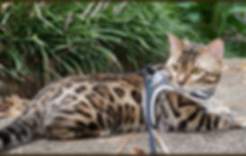 Bengal Cat Texas