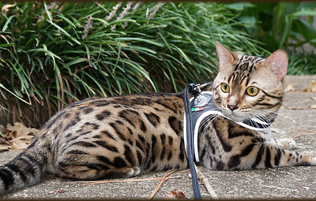 Bengal Cat Texas