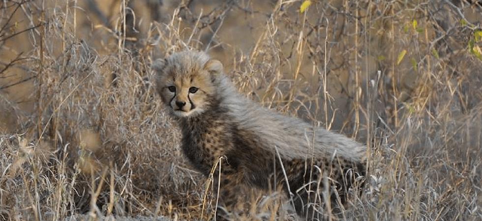 cheetahcub.png