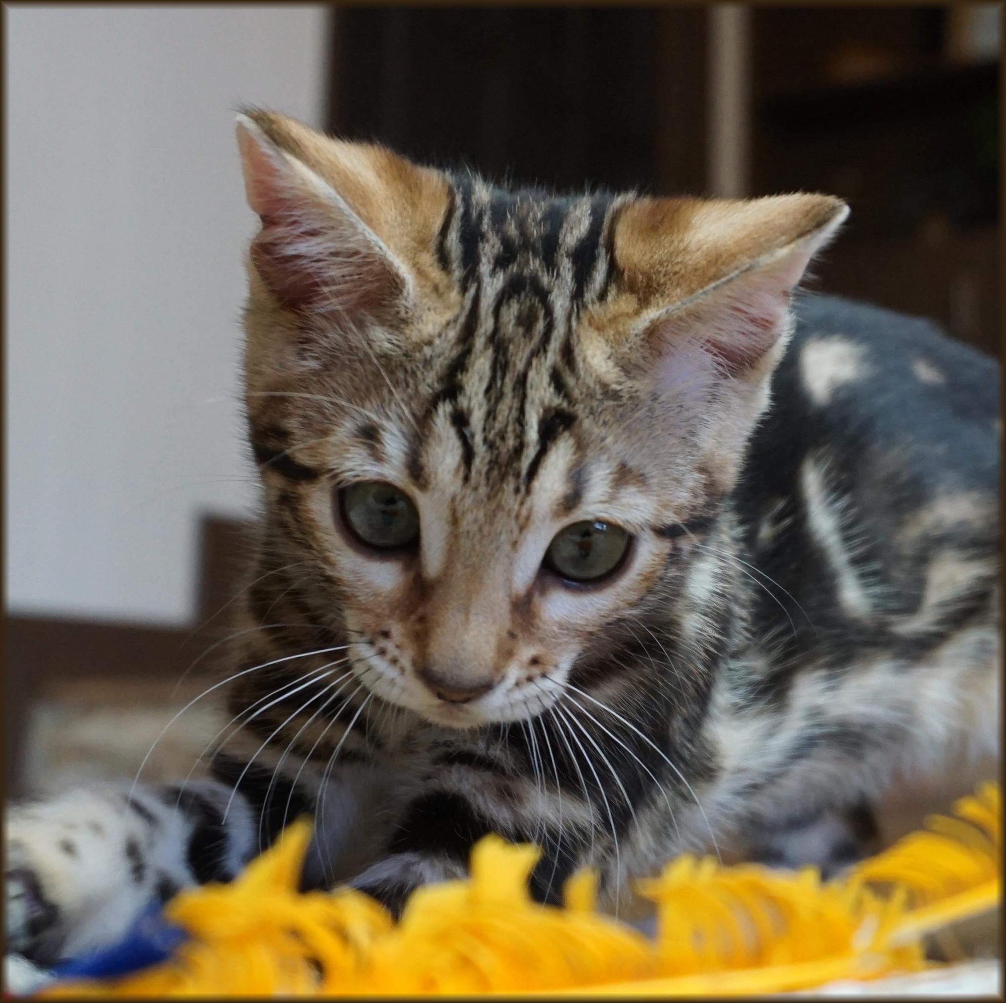 Bengal Cheetahsden Bengal Luci