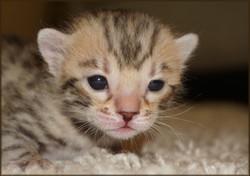 Cheetahsden Shayla