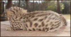 Cheetahsden Haloetahsden Eve