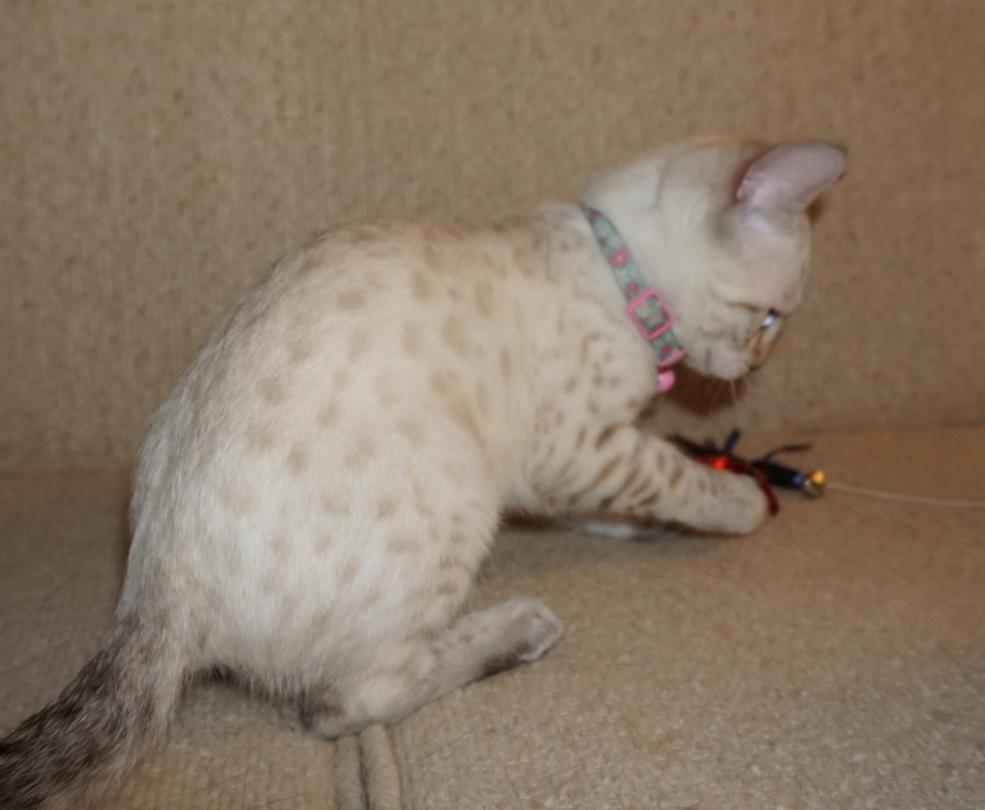 Cheetahsden Sarafina