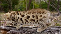 Bengal Cheetahsden Bengal Charl0wks4
