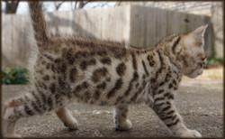 Cheetahvsden Genie