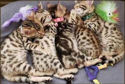 Cheetahsden Kai Yaki and Siblings