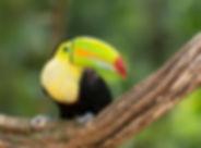 Bird - Costa Rica - Keel-billed Toucan