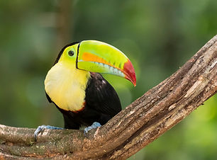 Bird - Costa Rica - Keel-billed Toucan