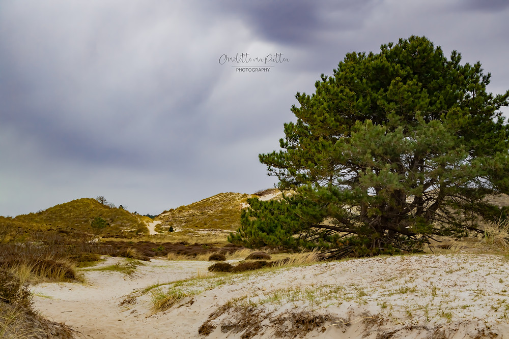 The Sand Dune Tree, in the sand dunes of North Holland