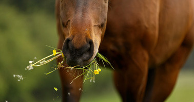 Plantes toxiques pour le cheval