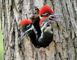 Fledgling Pileateds