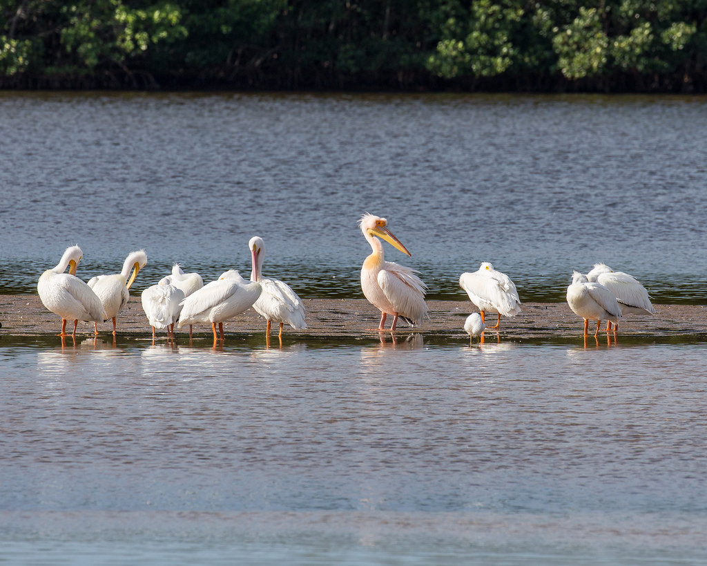 Great Pelican, with White Pelicans