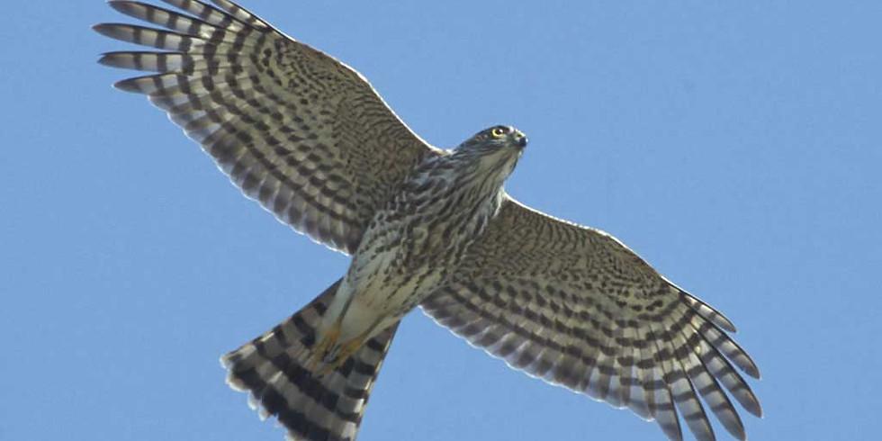 Hawk Watch at the Sanibel Lighthouse
