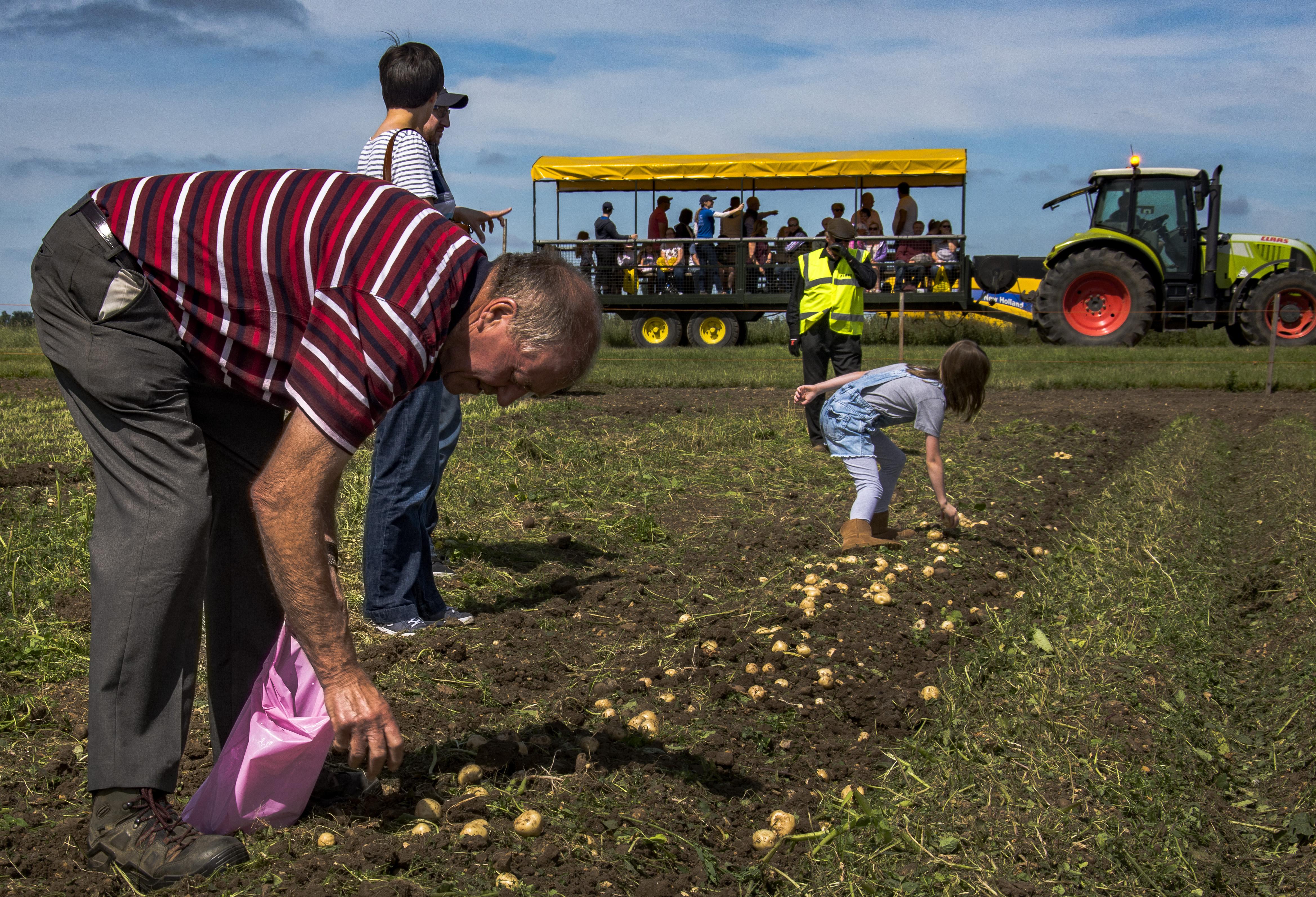 Potato Picking 5