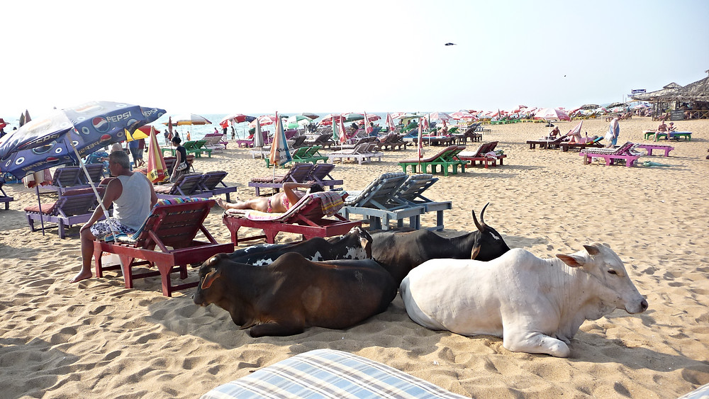 Cow in Goa Beach