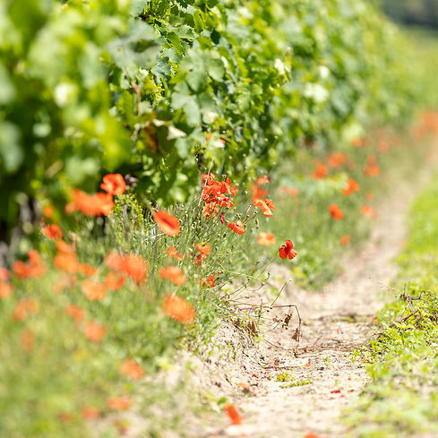 La-Vigne-grappes-en-vert-@gaellebc-JPGhd