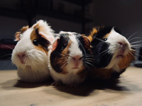 Teddy Roosevelt's Crime-Fighting Guinea Pigs