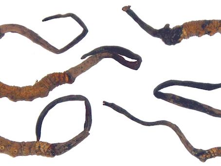 Yarsagumba