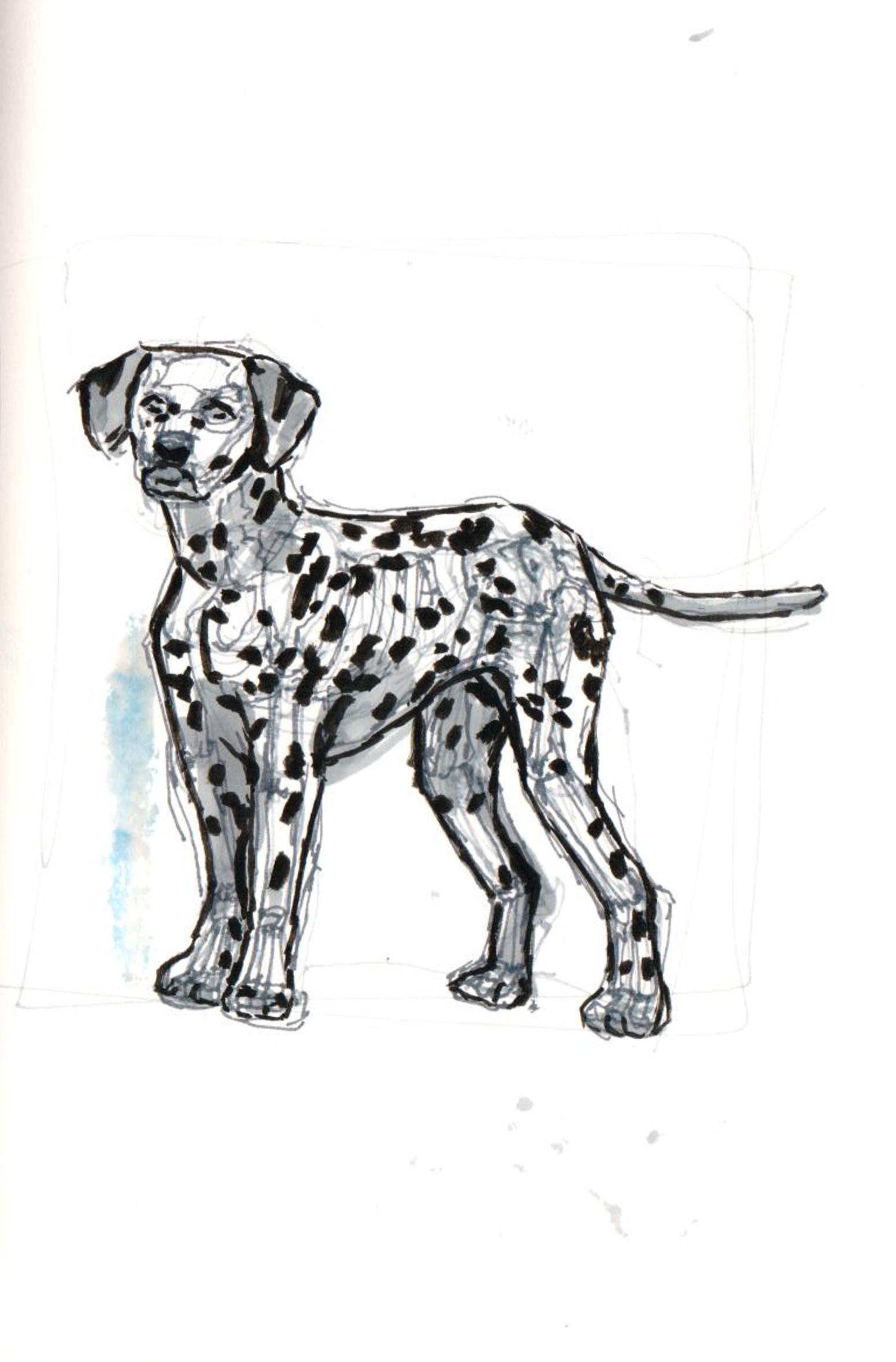 Dalmatian Study - 2