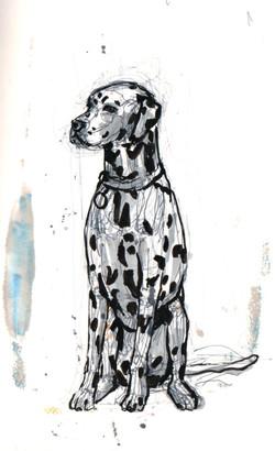 Dalmatian Study - 1