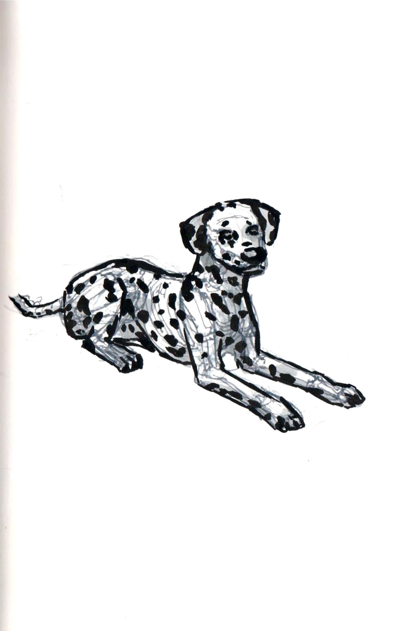 Dalmatian Study - 3