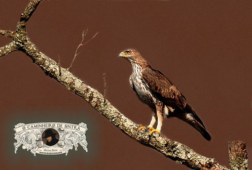 Bonelli's_Eagle - O Caminheiro de Sintra
