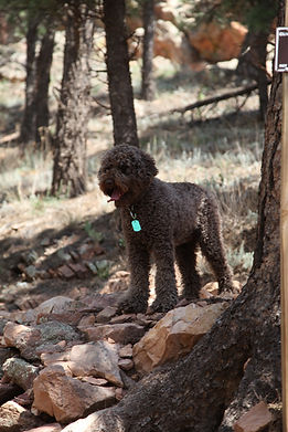 Australian Labradoodle dog outoors in Colorado