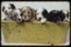 Michigan Breeder of aussidoodle, aussipoo, aussiepoo, aussi-poo, aussie-poo puppies.