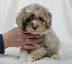 Michigan Breeder of aussidoodle, aussipoo, aussiepoo, aussi-poo, aussie-poo puppies.