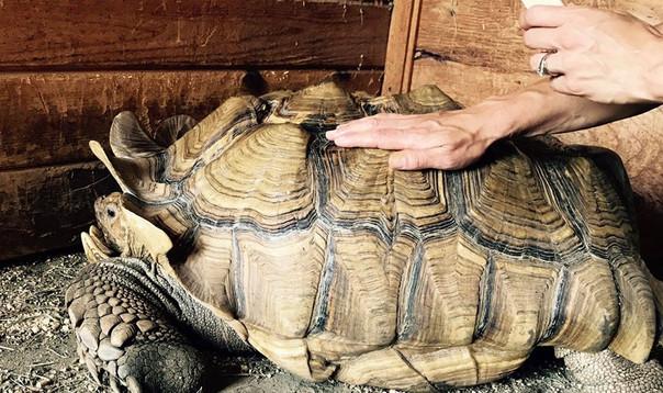 Stella the Sulcata Tortoise having a shell treatment