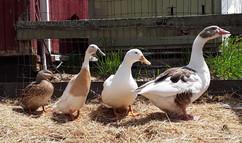 Various duck breeds and 1 Pomeranian goose