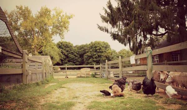 Chickens enjoying a little grass time
