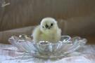 Sometimes we have little chicks