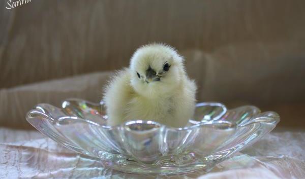 A little baby Silkie chicken