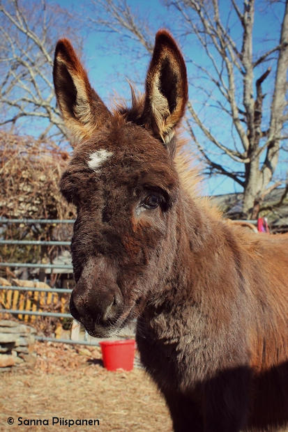 Baby Eunice, a Miniature Donkey