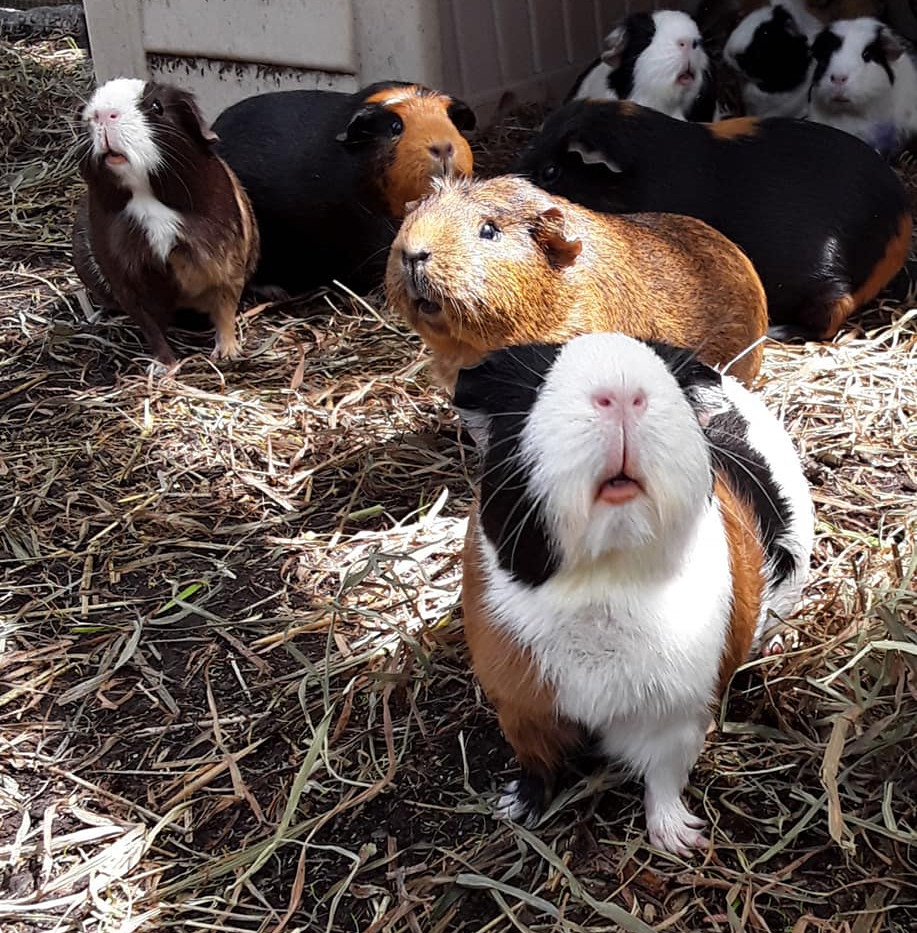 Look at those guinea pig faces!