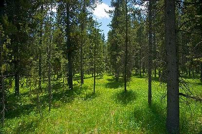 meadow-pine-trees.jpg