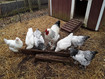 Light Brahma and White Jersey Giant chickens