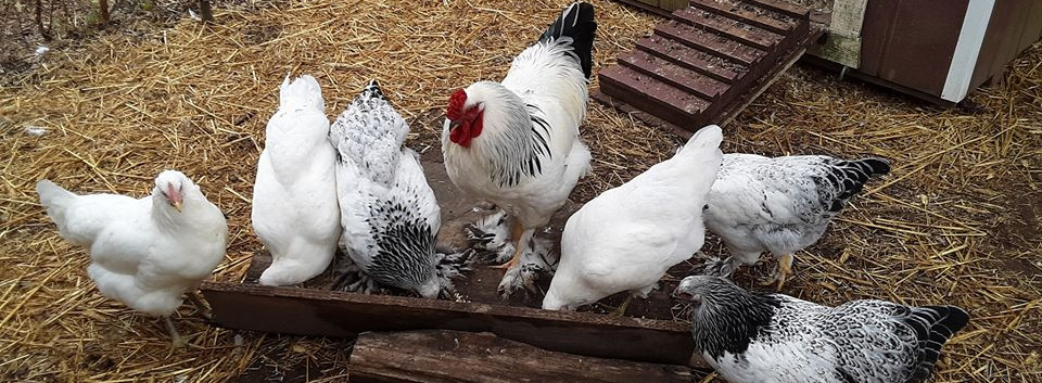 Russel Crow the rooster, with his hens