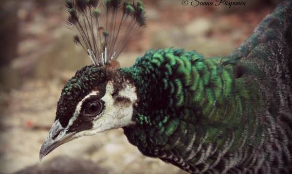 One of our beautiful Peahen