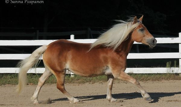 Connie the Haflinger