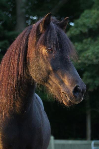 Naggur, an Icelandic Horse gelding