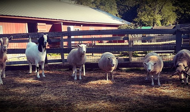 The gang. Goats & Sheep