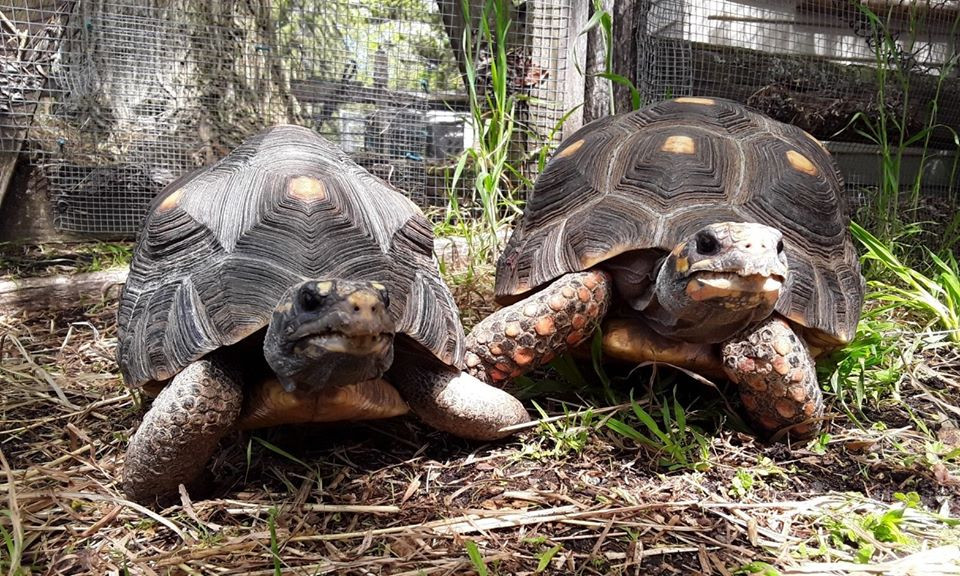 Red Foot Tortoises Tippee and Rosie